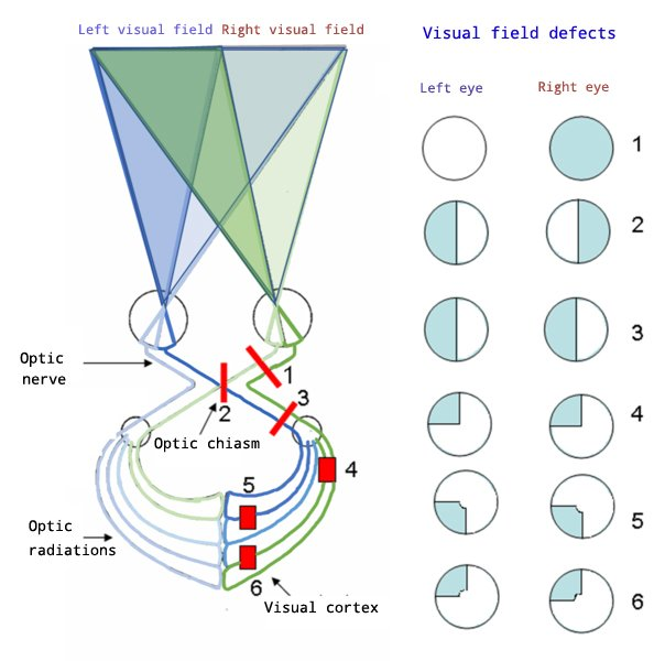 Visual System | Functions | 7 Important Components